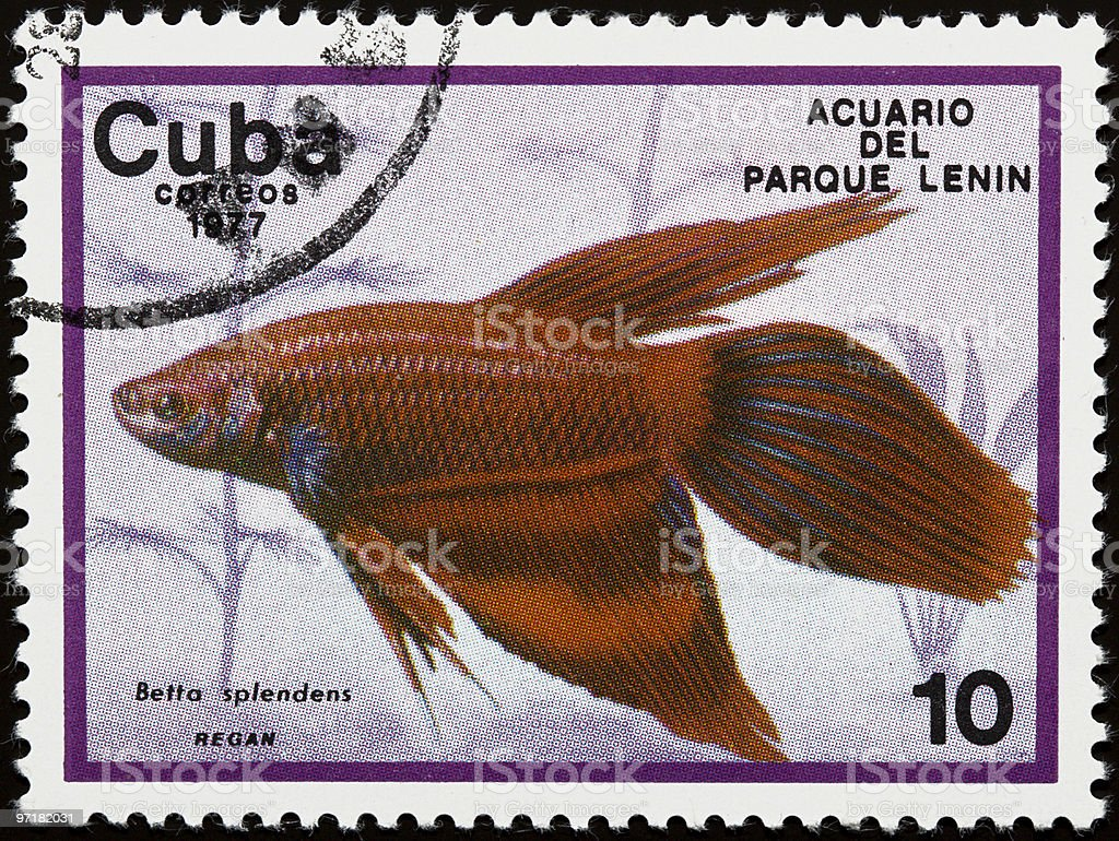 Betta Splendens fish on old stamp royalty-free stock photo