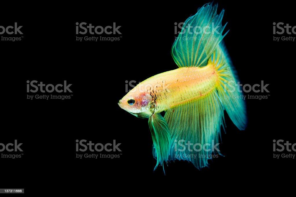 Betta Splendens fish royalty-free stock photo