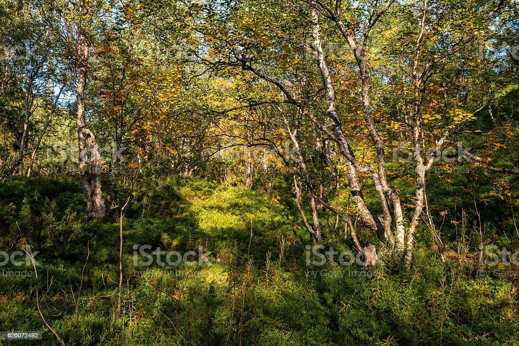 Betula czerepanovii stock photo