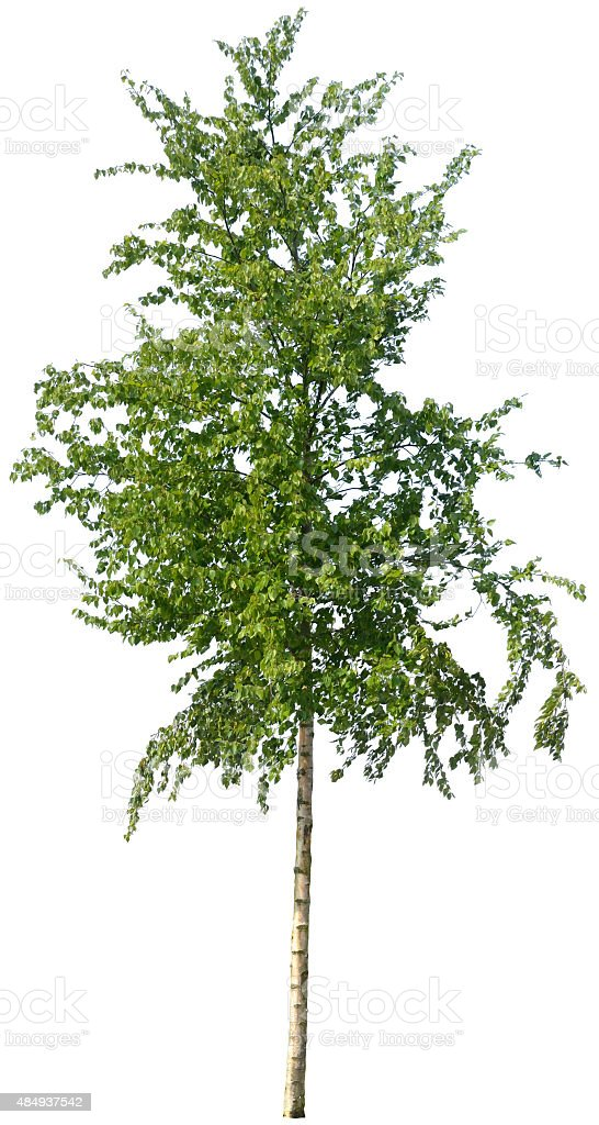 Betula nigra or red birch isolated on white stock photo