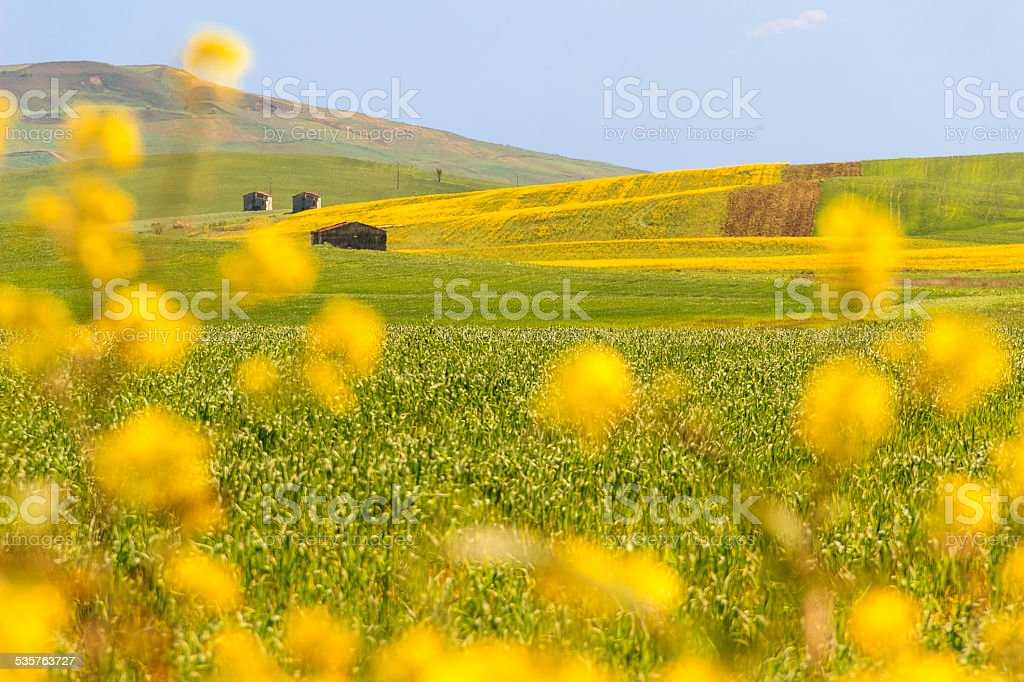 RURAL LANDSCAPE SPRING, Between Apulia and Basilicata: field of wheat.ITALY stock photo