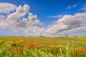 Between Apulia and Basilicata: rural landscape spring. - ITALY -