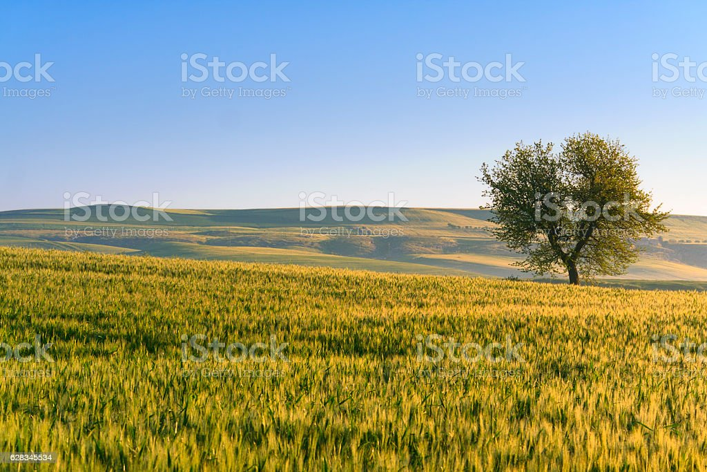 Between Apulia and Basilicata: spring landscape with wheat field.ITALY stock photo