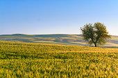 Between Apulia and Basilicata: spring landscape with wheat field.ITALY