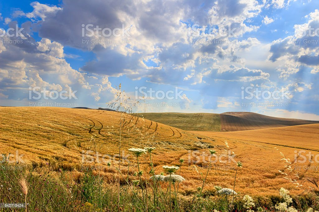 Between Apulia and Basilicata.Hilly landscape with cornfields.ITALY stock photo