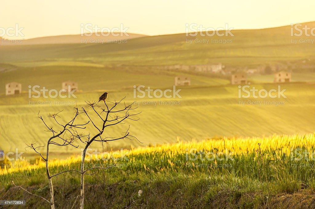 RURAL LANDSCAPE SPRING. Between Apulia and Basilicata:lone sparrow at dawn.ITALY stock photo