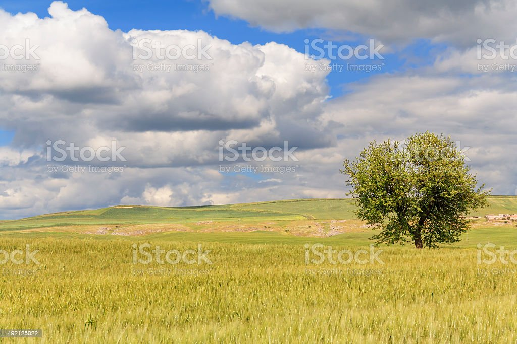 Between Puglia and Basilicata: spring landscape with wheat field.ITALY stock photo