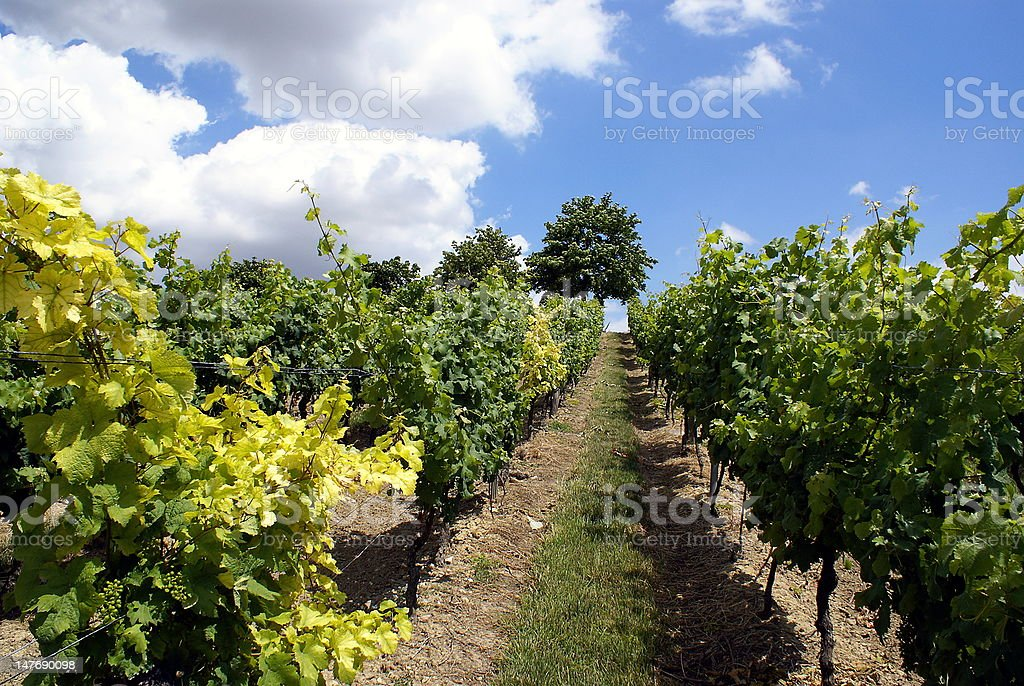 between the vines royalty-free stock photo