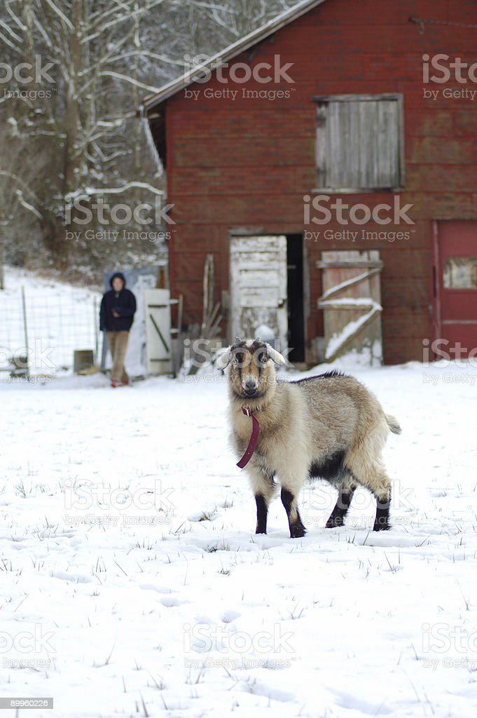 Beulah the West Virginia Goat royalty-free stock photo