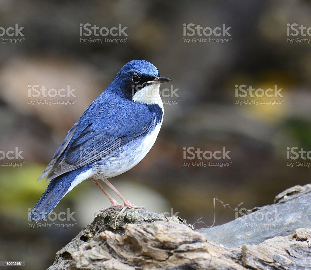 Beutiful bird standing on the log, siberian blue stock photo