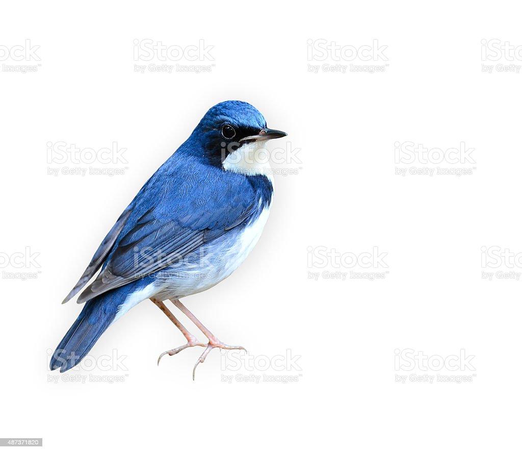 Beutiful blue bird standing on the log, Siberian blue robin stock photo