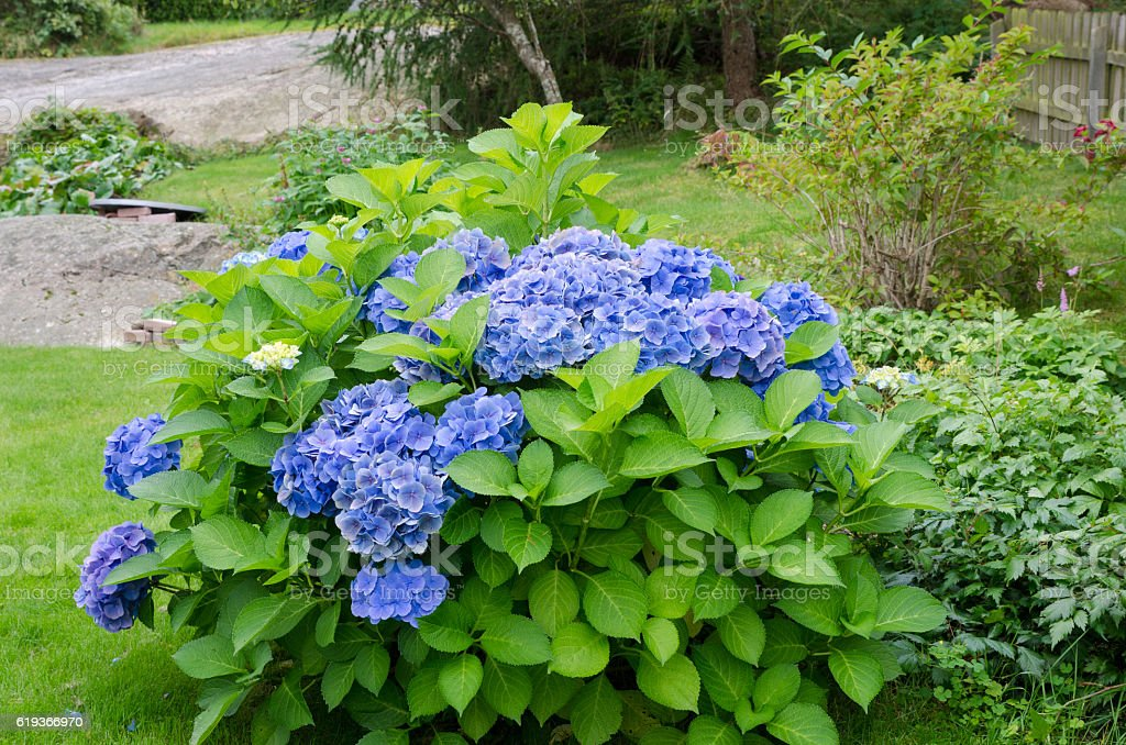 beutiful garden hortensia with blue flower stock photo