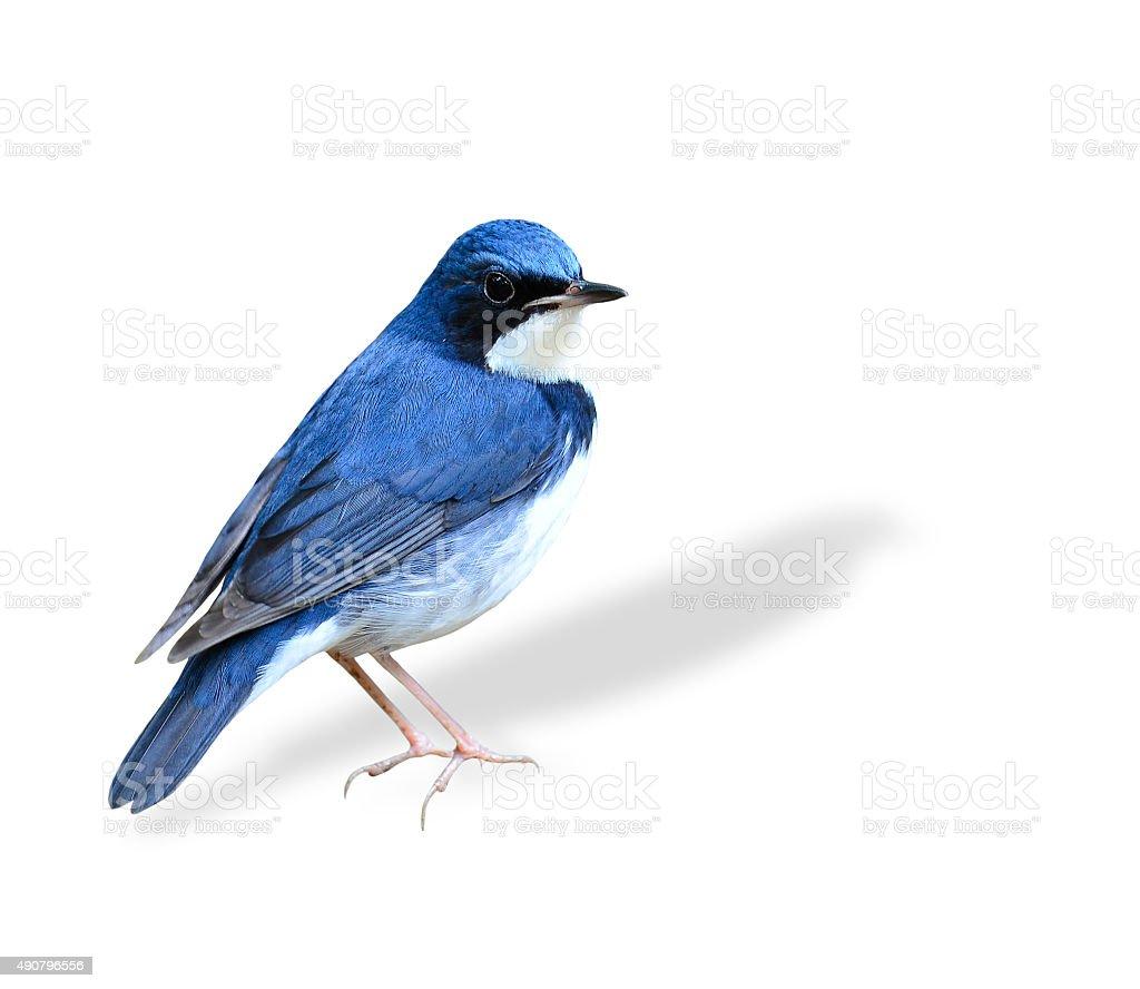 Beutiful standing blue bird, Siberian Blue Robin isolated on whi stock photo