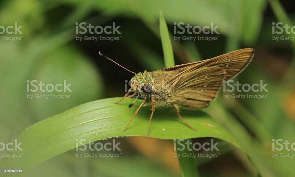 Bevan Swift Butterfly stock photo