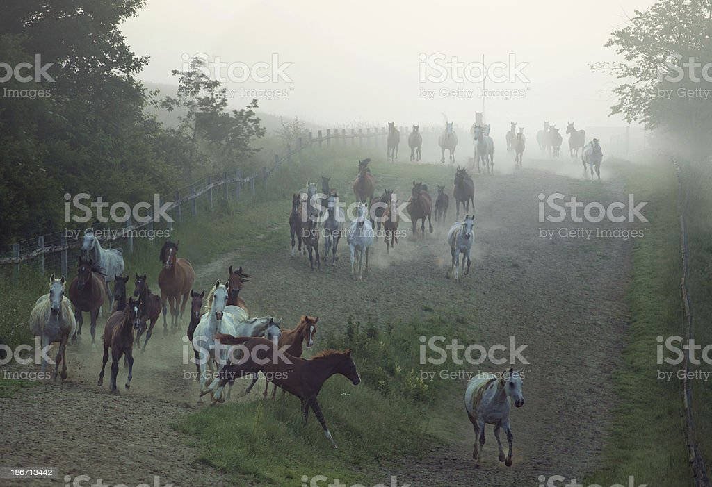 Bevy of horses running at the rular area royalty-free stock photo