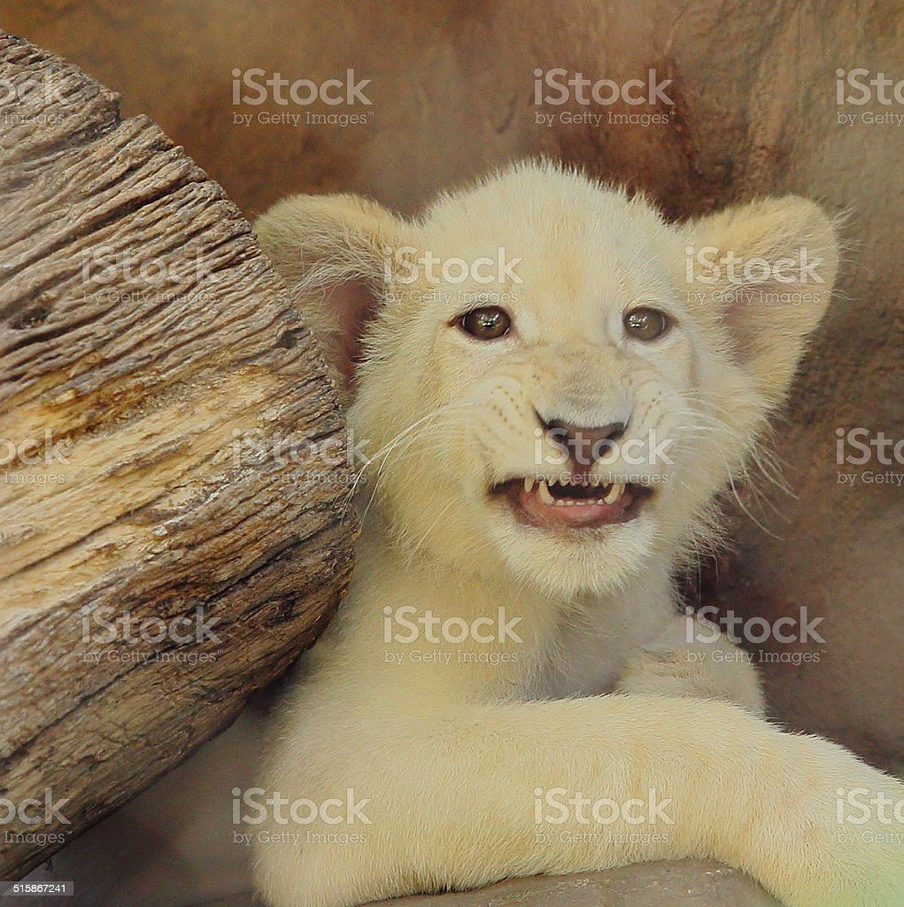 Beware of the White Tiger Baby stock photo