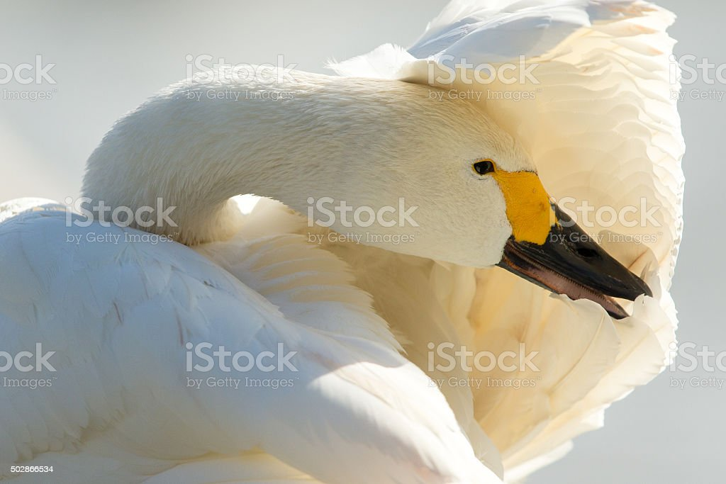 Bewicks Swan covering its eyes with its wing. stock photo