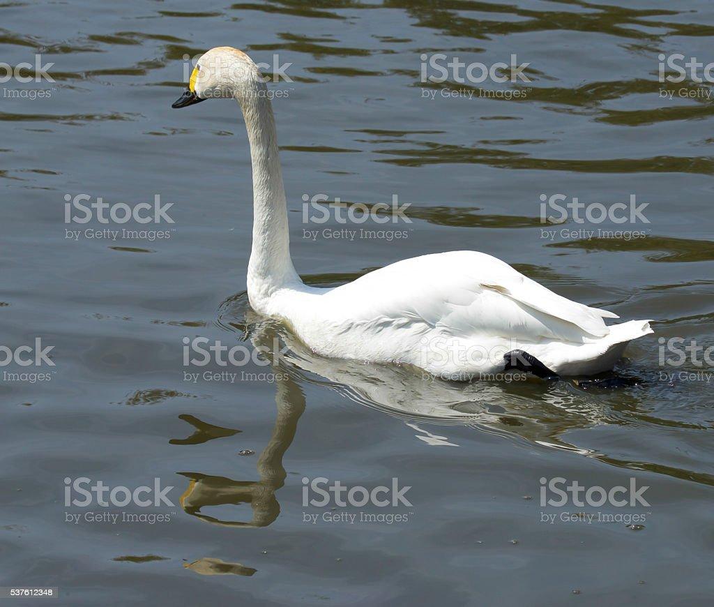 Bewick's Swan stock photo