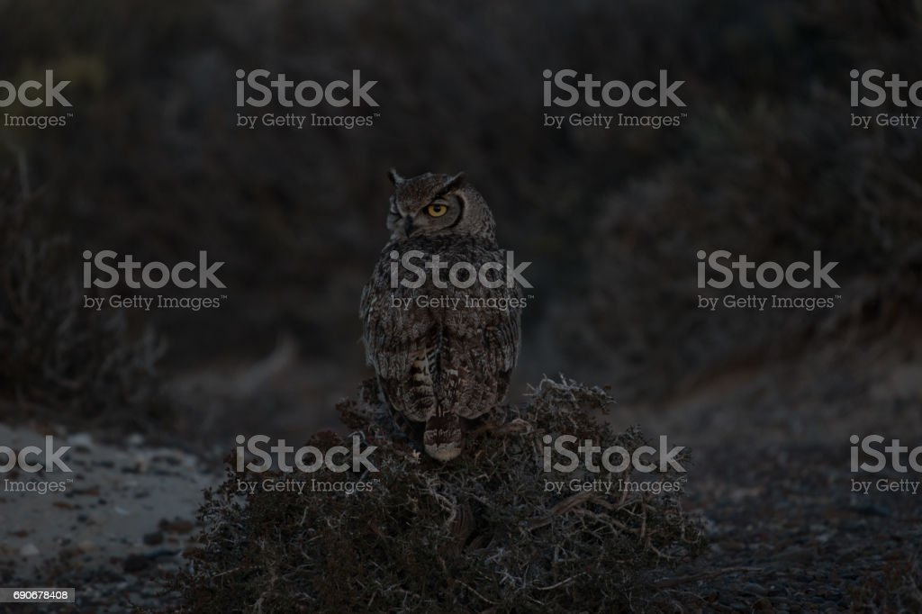 Búho Tucuquere stock photo