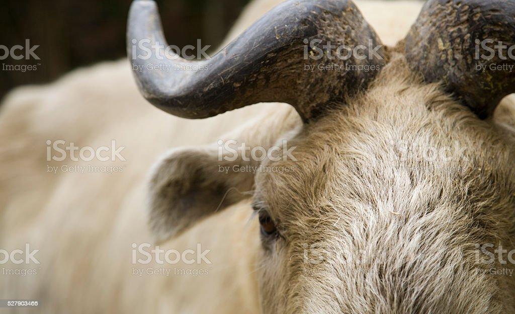 bhutan takin cattle close up stock photo