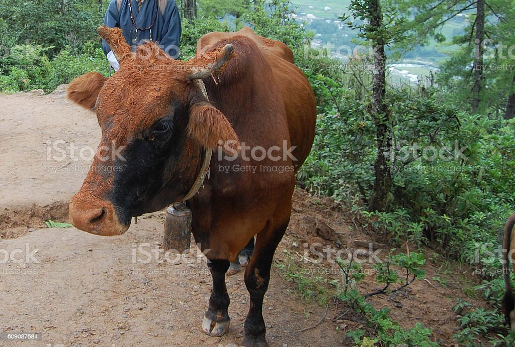 Bhutanese cow stock photo