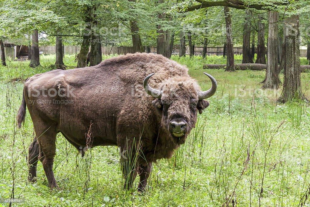 Bialowieski National Park - Poland. Aurochs head. stock photo