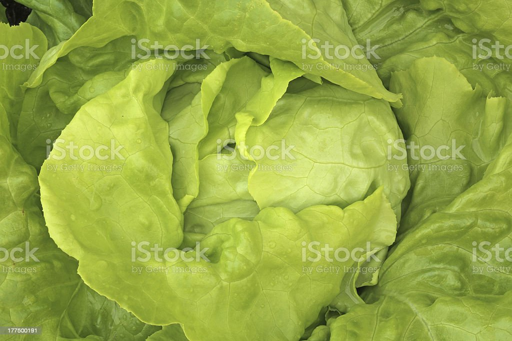 Bibb Lettuce XXXL royalty-free stock photo