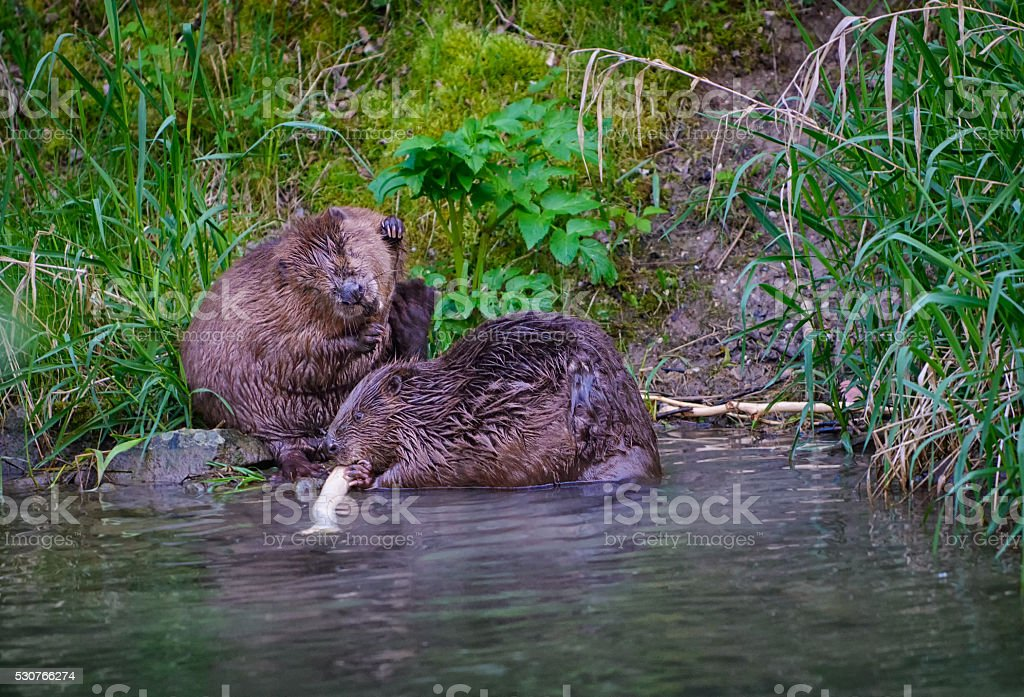 Biber couple on the riverbank stock photo