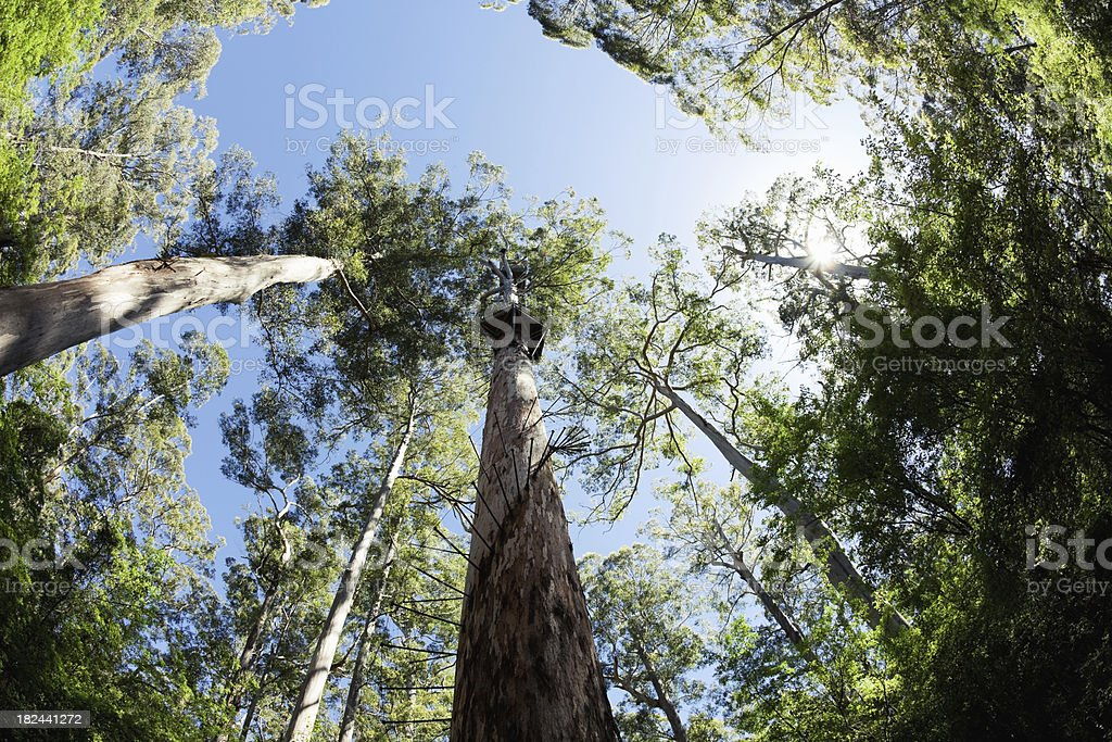 Bicentennial Tree Western Australia stock photo