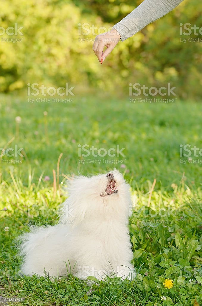 Bichon bolognese dog play with owner stock photo