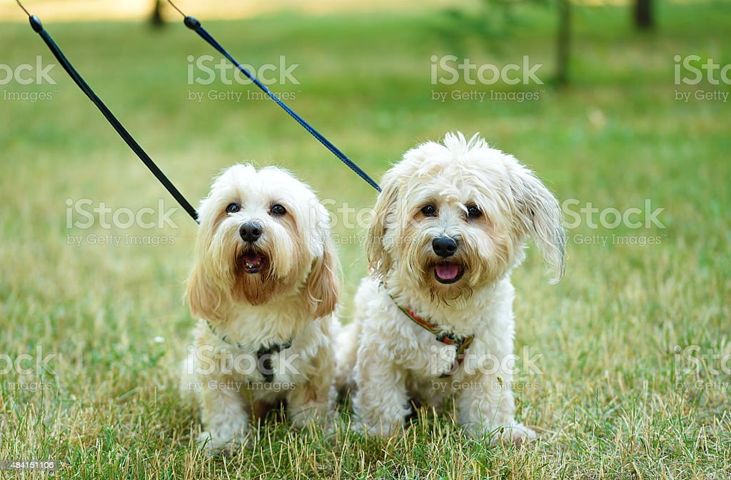 Bichon bolognese dogs stock photo