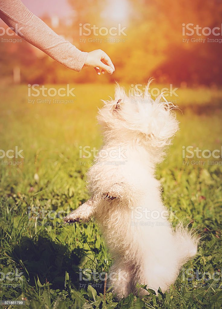 Bichon bolognese play in the park stock photo