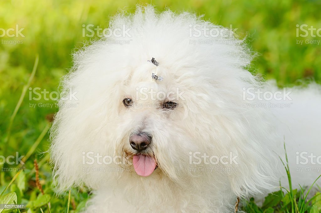 Bichon bolognese relax in the park at sunset stock photo