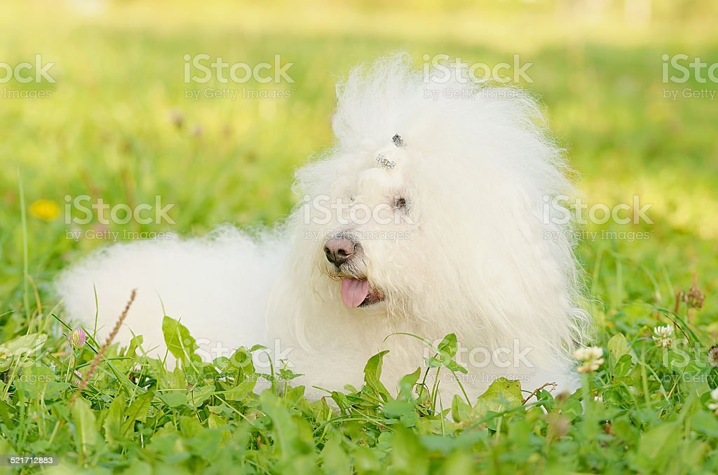 Bichon bolognese relax in the park stock photo