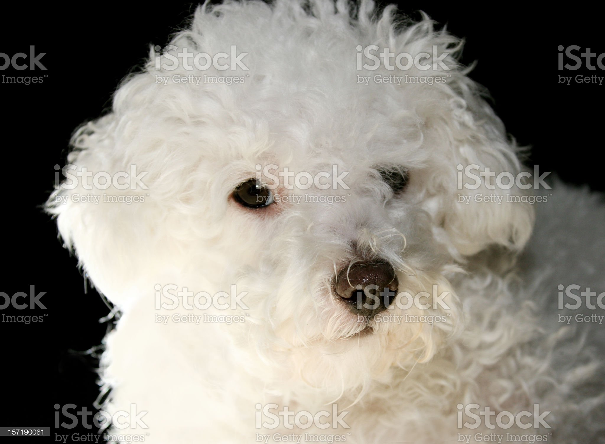 Bichon Close-up royalty-free stock photo