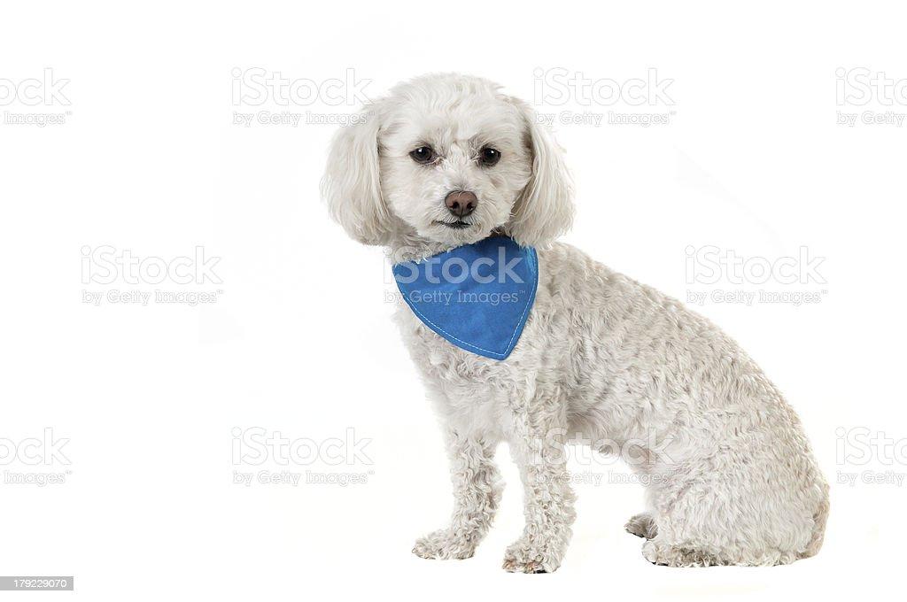 Bichon dog stock photo