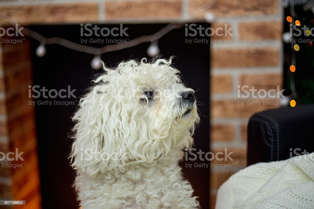 Bichon Frise dog stock photo