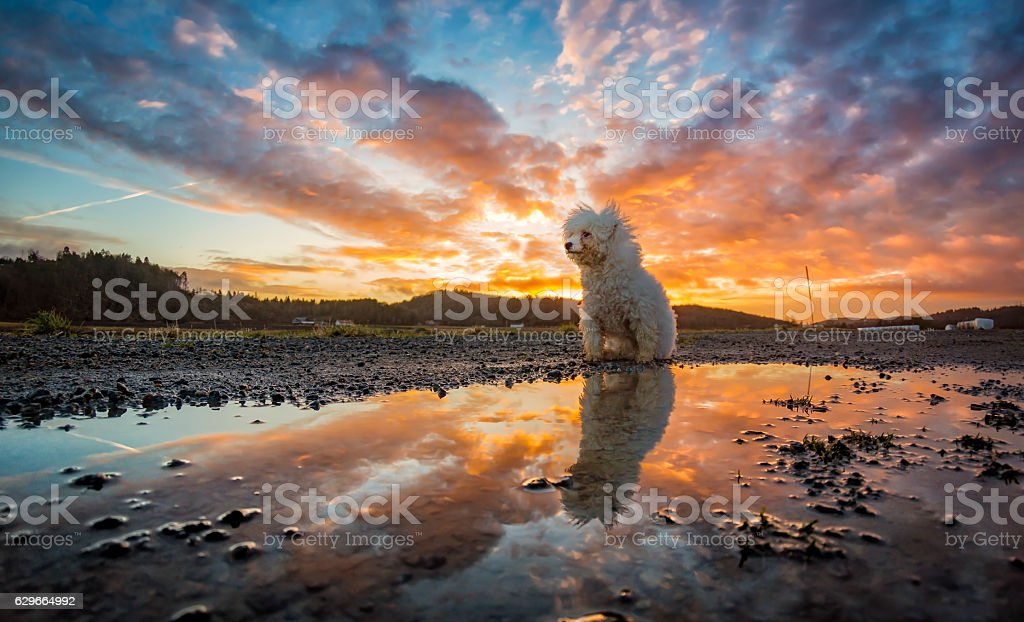 Bichon Frisé reflected in water during sunset stock photo