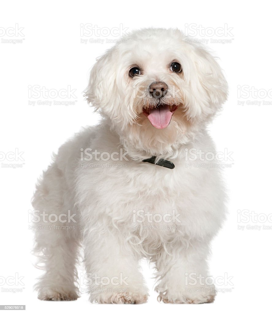 Bichon frise, 13 and a half years old, standing stock photo