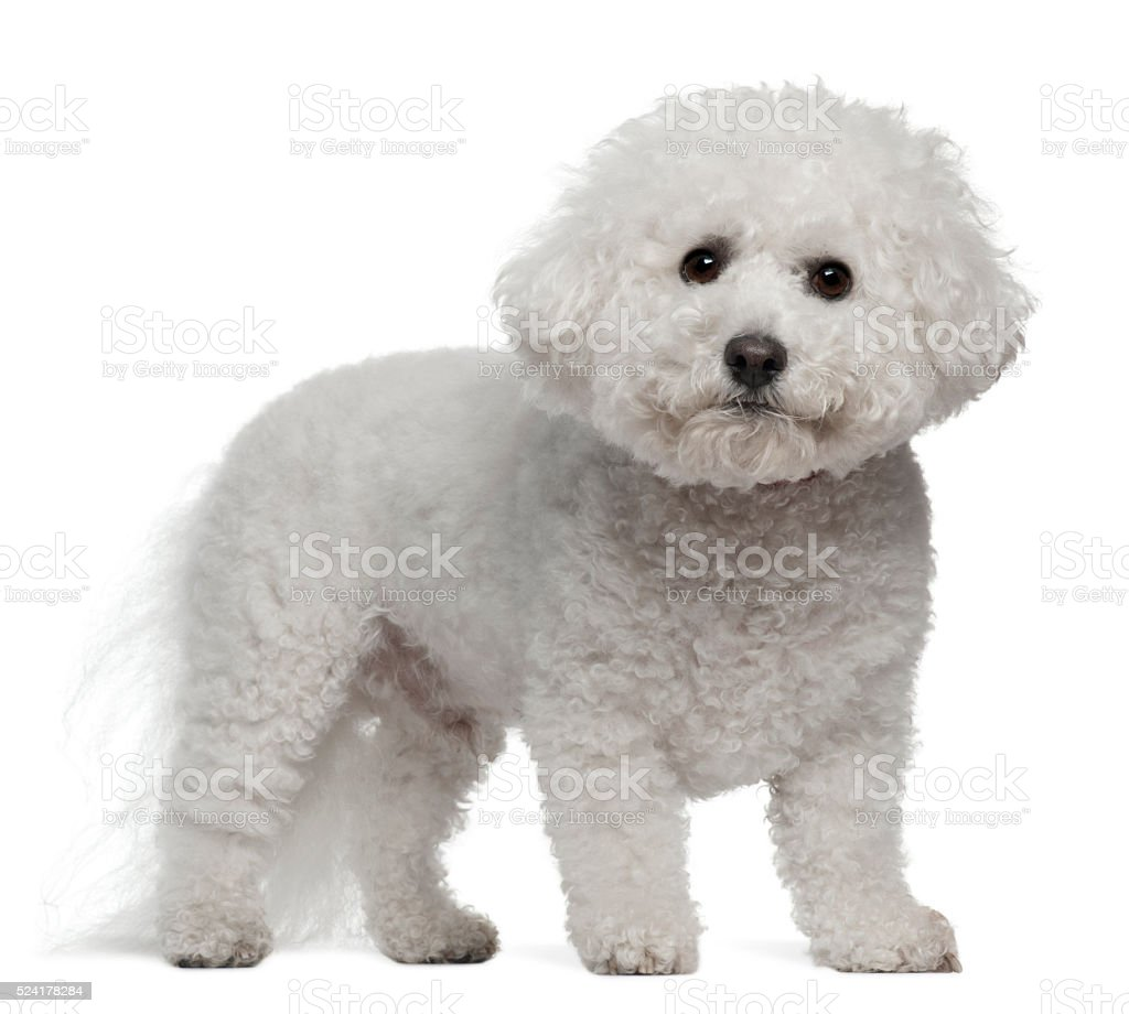 Bichon Frise, 5 years old, standing stock photo