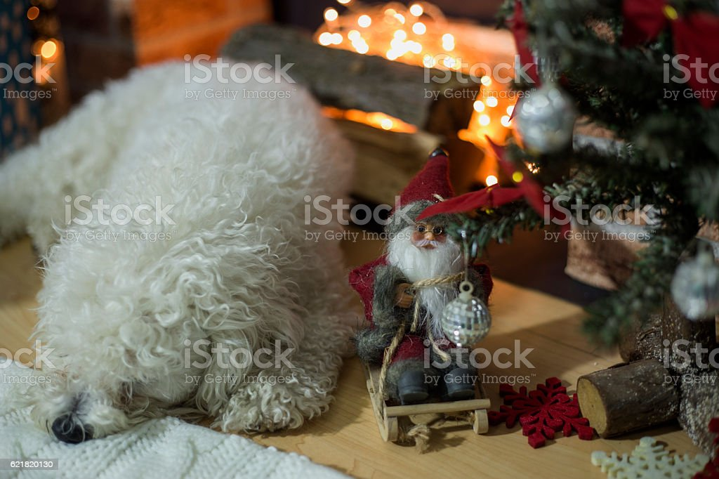Bichon frise dog lying near a fireplace decorated for Christmas stock photo