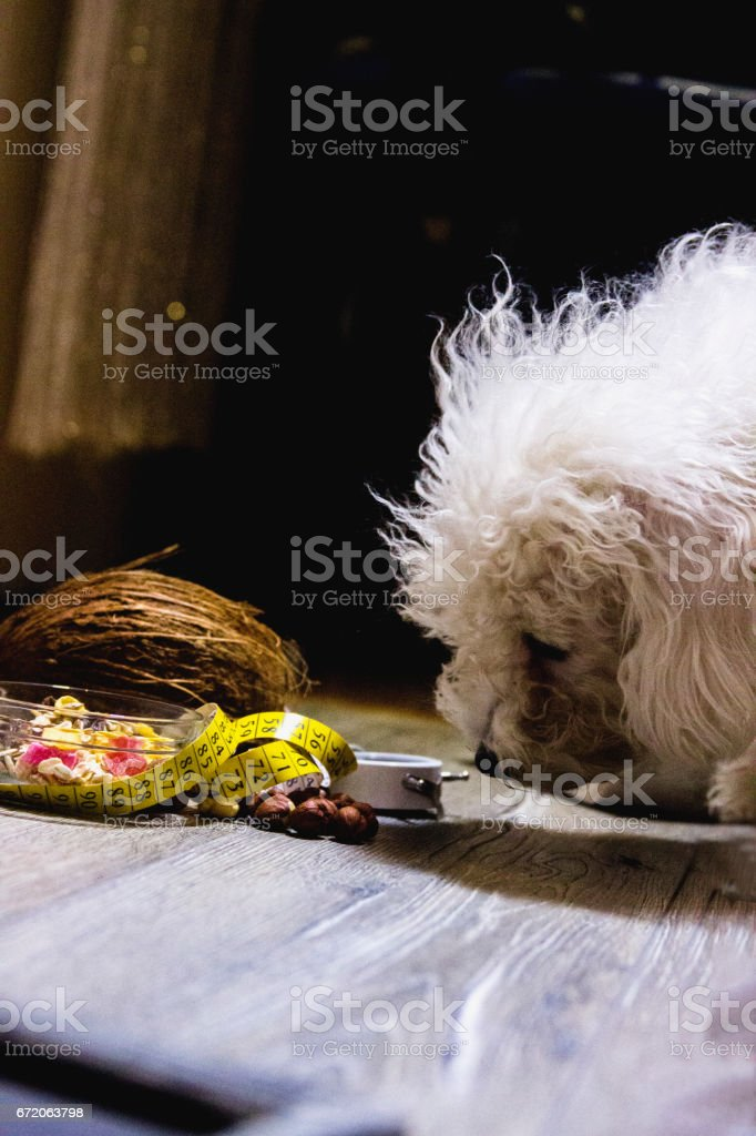 Bichon Frise eating a bowl of cereal with strawberries and blueberries stock photo