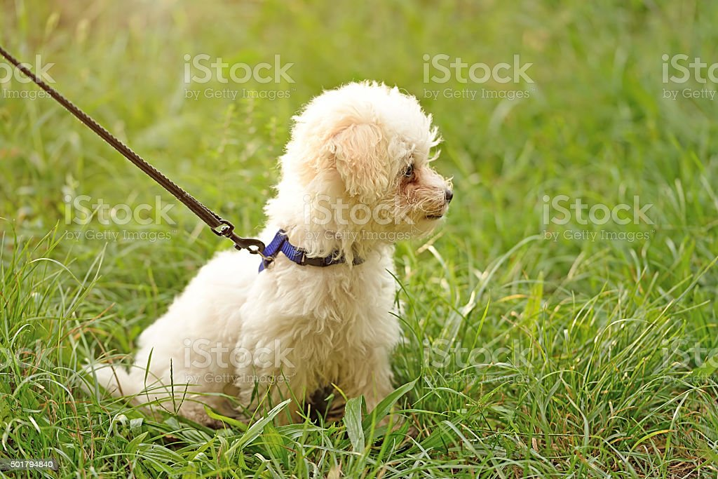 Bichon frise in park stock photo