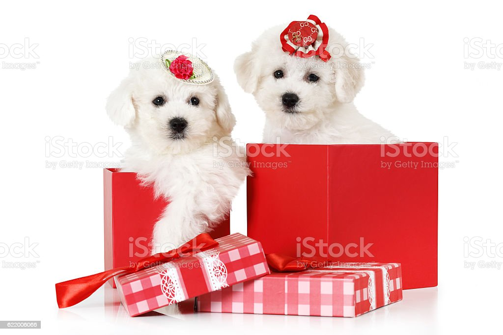 Bichon Frise puppies in a gift box stock photo