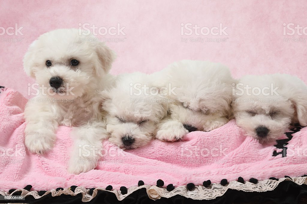 Bichon Frise puppies sleeping in the bed stock photo