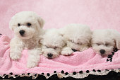Bichon Frise puppies sleeping in the bed