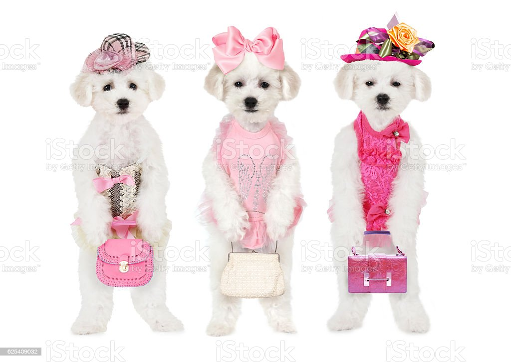 Bichon Frise puppies with hats and bags stock photo