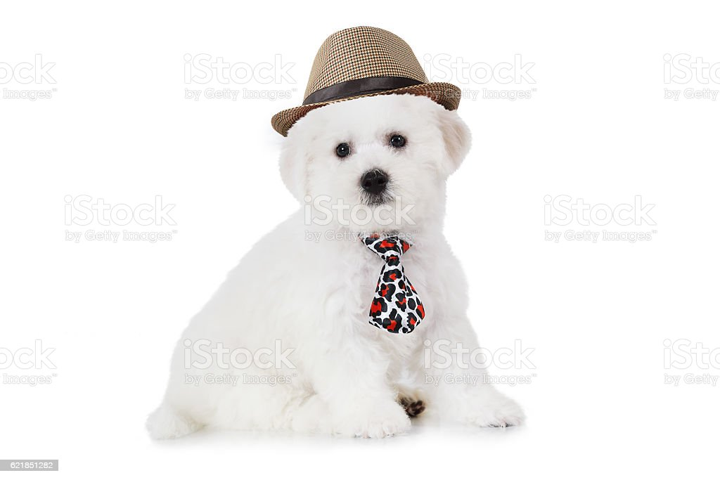 Bichon Frise puppy in a hat stock photo