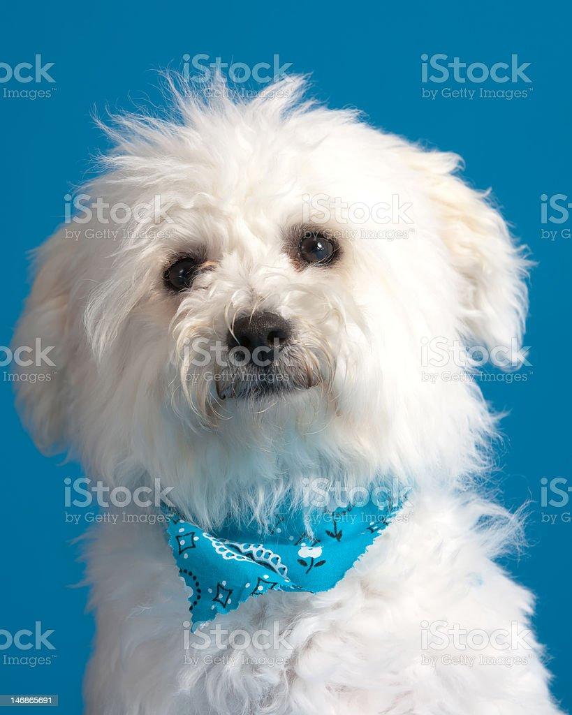 Bichon Frise Puppy royalty-free stock photo