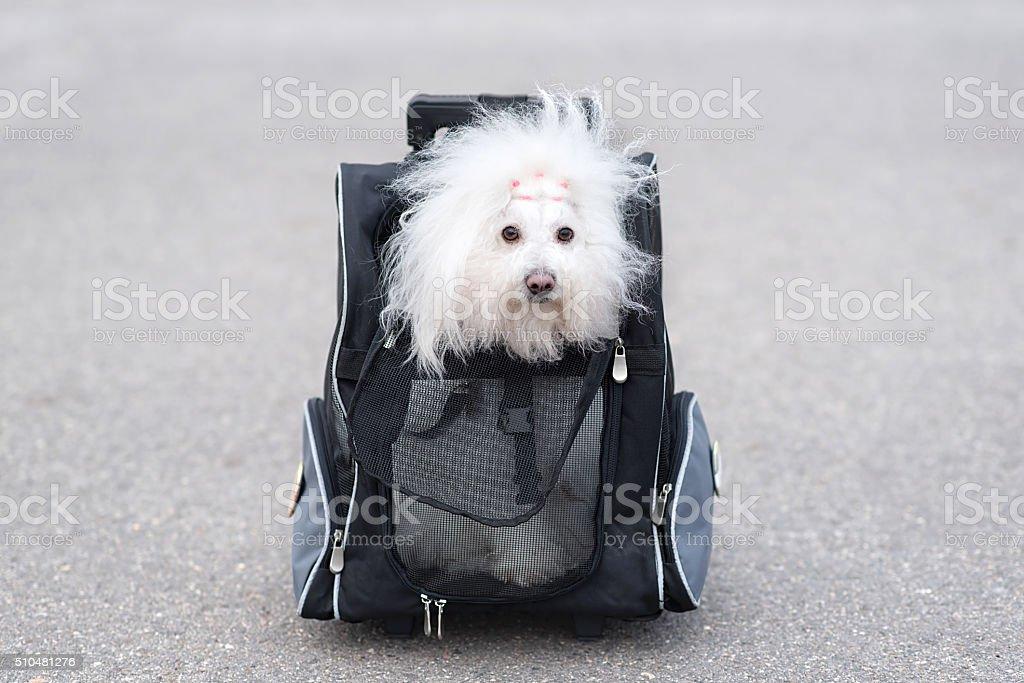 Bichon Havanese dog in bag stock photo